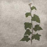 Πράσινος κισσός στην παλαιά σύσταση εγγράφου grunge παλαιά Στοκ Εικόνα