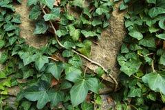 Πράσινος κισσός στον παλαιό τοίχο πετρών Στοκ Φωτογραφία