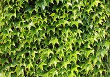 πράσινος κισσός Στοκ Φωτογραφίες