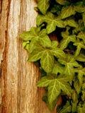 πράσινος κισσός Στοκ Φωτογραφία