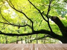 Πράσινος κλάδος δέντρων σφενδάμνου Στοκ εικόνες με δικαίωμα ελεύθερης χρήσης