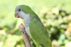 Πράσινος κουάκερος παπαγάλος Στοκ Εικόνες