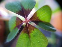 Πράσινος κόκκινος καφετής Cloverleaf μεγέθυνε μέσα στοκ εικόνα με δικαίωμα ελεύθερης χρήσης