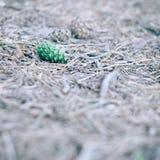 Πράσινος κώνος πεύκων που βρίσκεται στο έδαφος στο δάσος το καλοκαίρι - στιγμιαία εκλεκτής ποιότητας τετραγωνική φωτογραφία Στοκ Εικόνες