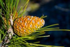 Πράσινος κώνος πεύκων σε ένα δέντρο πεύκων στις άγρια περιοχές Στοκ Φωτογραφία