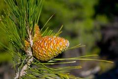 Πράσινος κώνος πεύκων σε ένα δέντρο πεύκων στις άγρια περιοχές Στοκ Φωτογραφίες