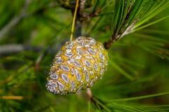 Πράσινος κώνος πεύκων σε ένα δέντρο πεύκων στις άγρια περιοχές Στοκ φωτογραφία με δικαίωμα ελεύθερης χρήσης
