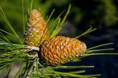 Πράσινος κώνος πεύκων σε ένα δέντρο πεύκων στις άγρια περιοχές Στοκ εικόνα με δικαίωμα ελεύθερης χρήσης