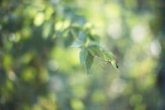 Πράσινος κλάδος άνοιξη Στοκ Εικόνα