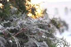 Πράσινος κλάδος arborvitae στο χιόνι Στοκ Εικόνες