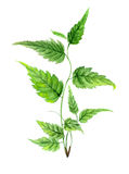 Πράσινος κλάδος Watercolor Στοκ Φωτογραφίες