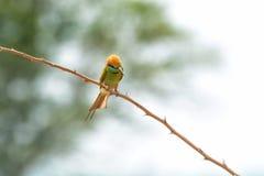 Πράσινος μέλισσα-τρώγων τρώγων μελισσών πράσινος λ Στοκ φωτογραφία με δικαίωμα ελεύθερης χρήσης