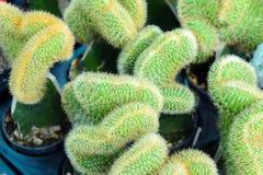 Πράσινος μίνι κάκτος στοκ φωτογραφία με δικαίωμα ελεύθερης χρήσης