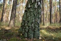 Πράσινος μίσχος μιας σημύδας Στοκ Εικόνες