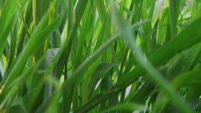 Πράσινος μακρο στενός επάνω αναδρομικά φωτισμένος χλόης φιλμ μικρού μήκους