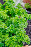 πράσινος μαϊντανός Στοκ φωτογραφία με δικαίωμα ελεύθερης χρήσης