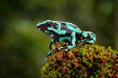 Πράσινος μαύρος βάτραχος βελών δηλητήριων, auratus Dendrobates, στο βιότοπο φύσης Όμορφος ετερόκλητος βάτραχος από το τροπικό δάσ Στοκ Εικόνα