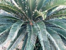 Πράσινος μεγάλος όμορφος εξωτικός σκουπίζοντας χνουδωτός τροπικός τροπικός ασυνήθιστος φοίνικας, φτέρη φυτών με τα τεράστια χαρασ στοκ φωτογραφίες