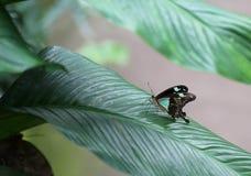 Πράσινος με τη μαύρη συνεδρίαση πεταλούδων λωρίδων στο πράσινο φύλλο Στοκ Φωτογραφία