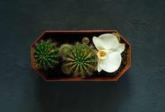 Πράσινος μικρός κάκτος σε ένα σκοτεινό υπόβαθρο με ένα άσπρο λουλούδι ορχιδεών, τοπ άποψη στοκ εικόνες