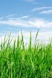 Πράσινος μπλε ουρανός ρυζιού Στοκ εικόνες με δικαίωμα ελεύθερης χρήσης