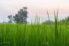 Πράσινος νέος τομέας ρυζιού το πρωί Στοκ φωτογραφίες με δικαίωμα ελεύθερης χρήσης