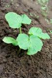 Πράσινος νεαρός βλαστός του αγγουριού. στοκ εικόνα