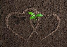 Πράσινος νεαρός βλαστός μεταξύ της έννοιας δύο καρδιών αγάπης Στοκ Φωτογραφίες