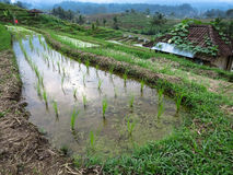 Πράσινος νεαρός βλαστός ρυζιού στους τομείς ορυζώνα πεζουλιών ρυζιού με τις γραμμές καμπυλών Στοκ εικόνες με δικαίωμα ελεύθερης χρήσης