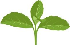 Πράσινος νεαρός βλαστός Στοκ Εικόνες