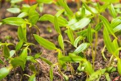 Πράσινος νεαρός βλαστός Στοκ εικόνα με δικαίωμα ελεύθερης χρήσης