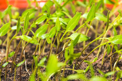Πράσινος νεαρός βλαστός Στοκ Φωτογραφίες