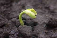Πράσινος νεογέννητος νεαρός βλαστός Στοκ εικόνα με δικαίωμα ελεύθερης χρήσης