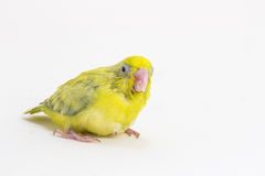 Πράσινος νεοσσός πουλιών Forpus κρητιδογραφιών Στοκ Εικόνες