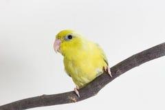 Πράσινος νεοσσός πουλιών Forpus κρητιδογραφιών Στοκ φωτογραφία με δικαίωμα ελεύθερης χρήσης