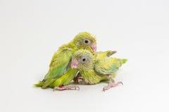 Πράσινος νεοσσός πουλιών Forpus κρητιδογραφιών Στοκ Εικόνα