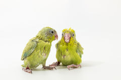 Πράσινος νεοσσός πουλιών Forpus κρητιδογραφιών Στοκ εικόνες με δικαίωμα ελεύθερης χρήσης