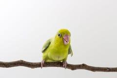 Πράσινος νεοσσός πουλιών Forpus κρητιδογραφιών Στοκ εικόνα με δικαίωμα ελεύθερης χρήσης