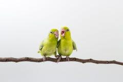 Πράσινος νεοσσός πουλιών Forpus κρητιδογραφιών Στοκ φωτογραφίες με δικαίωμα ελεύθερης χρήσης