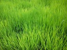 Πράσινος ορυζώνας στον τομέα ρυζιού στοκ εικόνες