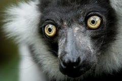 Πράσινος πίθηκος ματιών στοκ φωτογραφία