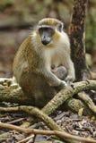 Πράσινος πίθηκος των Μπαρμπάντος Στοκ εικόνα με δικαίωμα ελεύθερης χρήσης