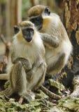 Πράσινος πίθηκος των Μπαρμπάντος Στοκ εικόνες με δικαίωμα ελεύθερης χρήσης