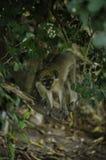 Πράσινος πίθηκος των Μπαρμπάντος Στοκ Φωτογραφίες