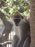 Πράσινος πίθηκος, Chlorocebus aethiops, εθνικό πάρκο Awash, Αιθιοπία στοκ φωτογραφία με δικαίωμα ελεύθερης χρήσης