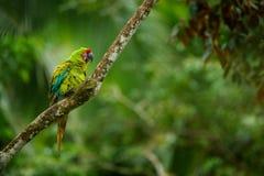 Πράσινος παπαγάλος μεγάλος-πράσινο Macaw, ambigua Ara στο δέντρο Άγριο σπάνιο πουλί στο βιότοπο φύσης, που κάθεται στον κλάδο στο Στοκ Εικόνες
