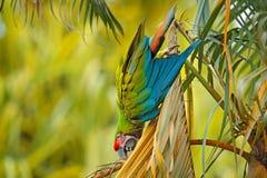 Πράσινος παπαγάλος μεγάλος-πράσινο Macaw, ambigua Ara στο δέντρο PAL Άγριο σπάνιο πουλί στο βιότοπο φύσης, που κάθεται στον κλάδο Στοκ φωτογραφίες με δικαίωμα ελεύθερης χρήσης