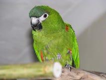 Πράσινος παπαγάλος, Hahn ` s macaw στην πέρκα στο εσωτερικό Στοκ Εικόνες