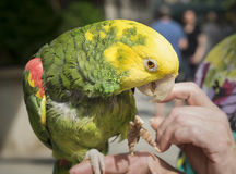 πράσινος παπαγάλος κίτριν& Στοκ φωτογραφία με δικαίωμα ελεύθερης χρήσης