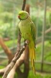 Πράσινος παπαγάλος με το κόκκινο ράμφος Στοκ Φωτογραφίες